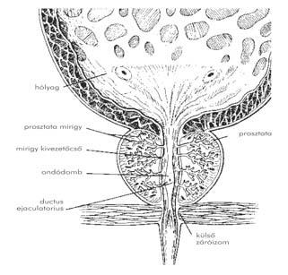 Húgycsősérülés | Urológiai Klinika