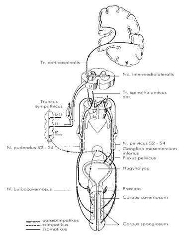 Só kötszerek a prosztatitis kezelésében Prostatit maestro